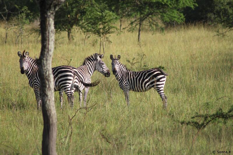 zebrat