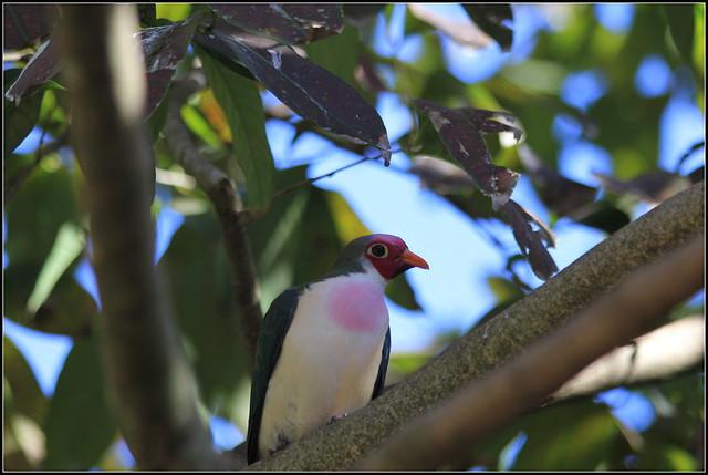 jambu fruit dove flying - photo #13