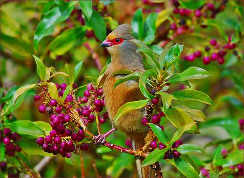birds coth redfacedmousebird specanimal fantasticnature abigfave nikond80 alittlebeauty coth5
