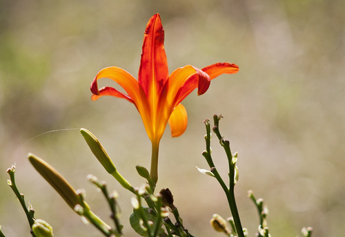 Glowing Day Lily