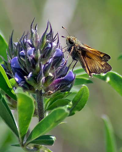 nature butterfly insect texas wildlife skipper lepidoptera decatur lbjnationalgrasslands
