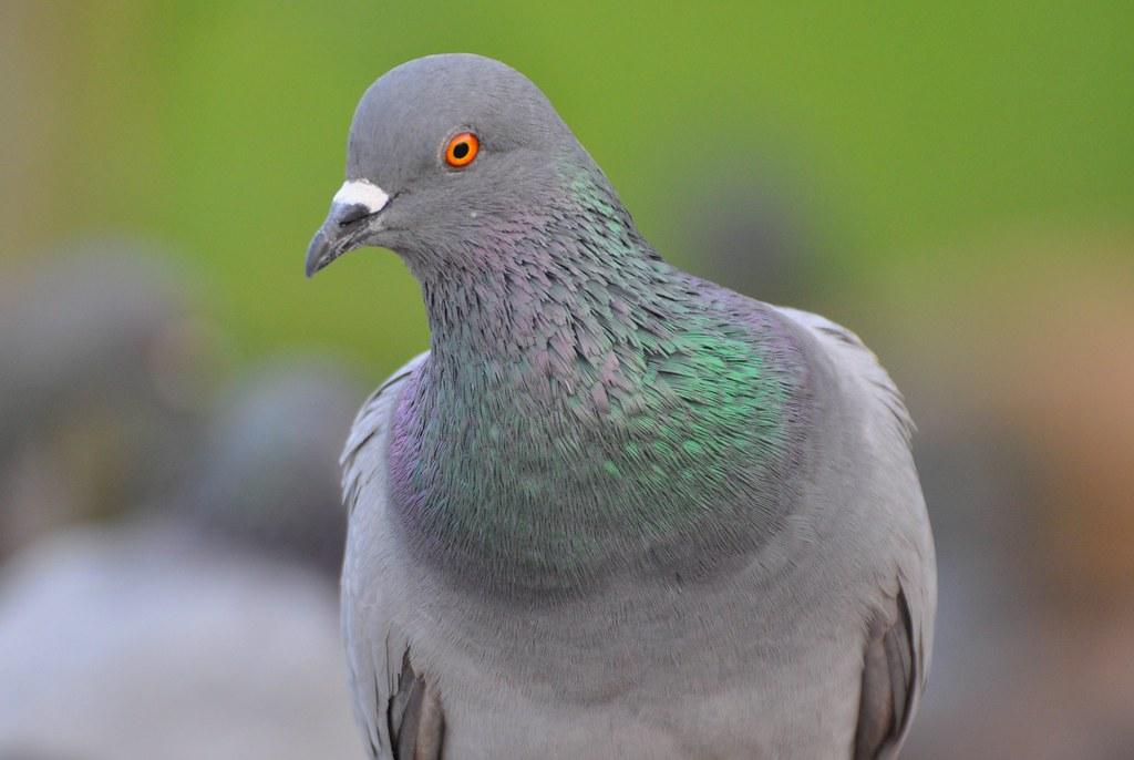 прямоугольник канадский голубь фото управлявший легковушкой