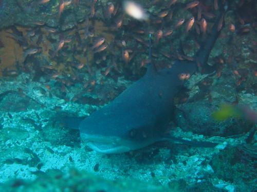 A white tip shark hiding in a cove.