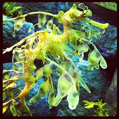 seahorse, animal, yellow, organism, underwater,