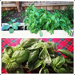 vegetable(0.0), produce(0.0), chard(0.0), annual plant(1.0), herb(1.0), food(1.0), basil(1.0),