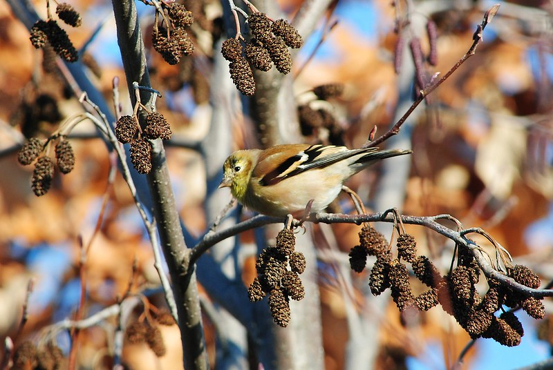 American Goldfinch (Американский щегол)
