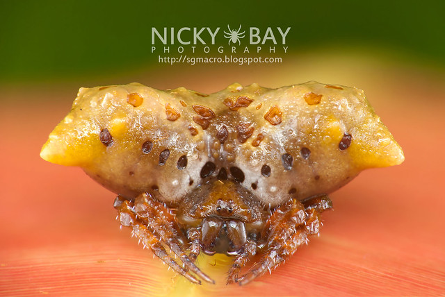 Bird Dung Spider (Pasilobus sp.) - DSC_1877