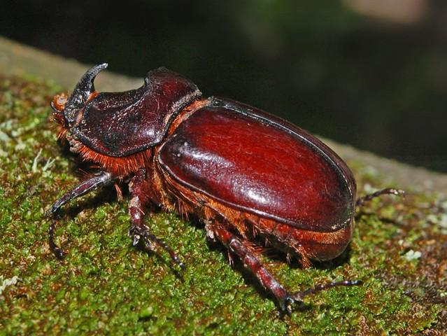 Dynastidae