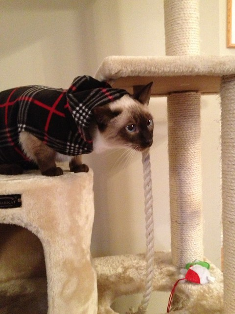 What Did I Do to Warrant Such Humiliation? #siamese