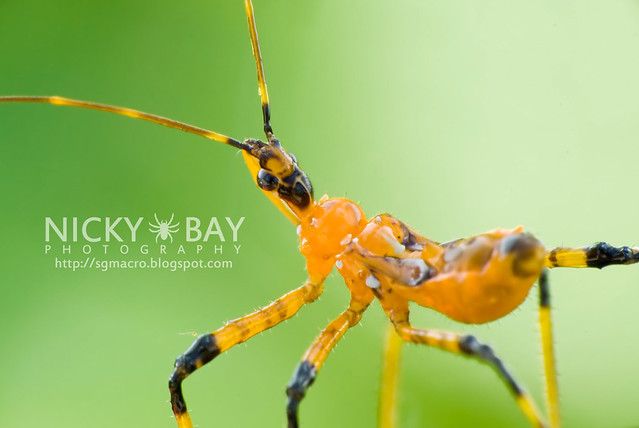 Assassin Bug (Reduviidae) - DSC_9728b