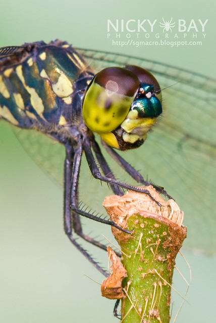 Dragonfly (Anisoptera) - DSC_9739