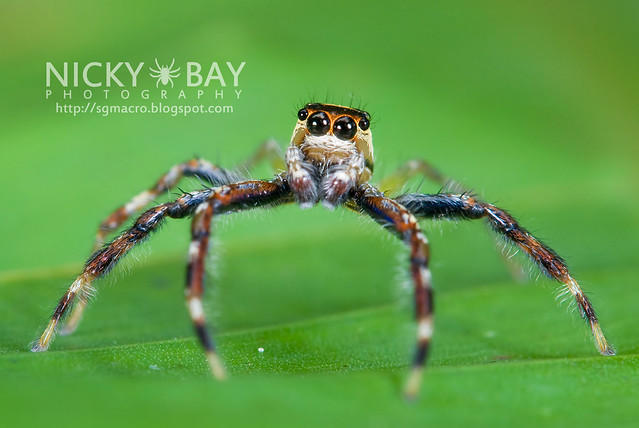 Jumping Spider (Salticidae) - DSC_7642