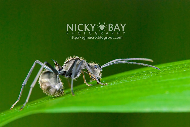 Ant (Formicidae) - DSC_9638