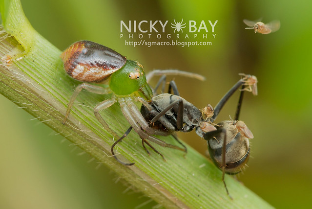 Crab Spider (Thomisidae) - DSC_3711