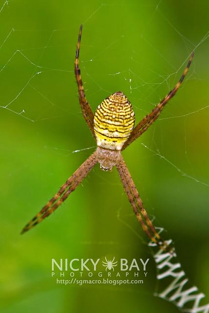 St Andrew's Cross Spider (Argiope aemula) - DSC_1616