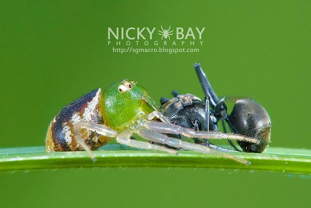 Crab Spider (Thomisidae) - DSC_0192