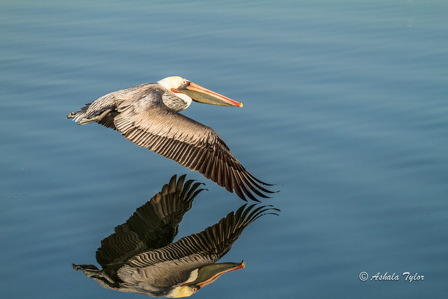 Pelican Reflection  - 5333-1