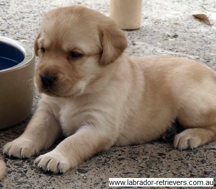 Yellow Purebred Pedigree Labrador Pups 13 Yellow Purebred Flickr