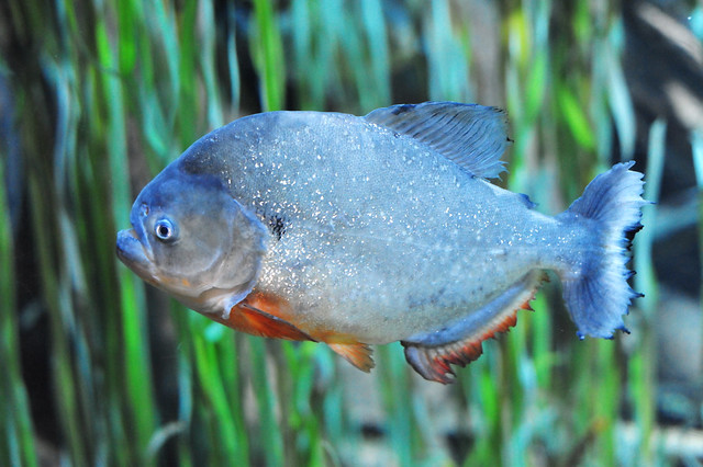 Red-bellied piranha or Red piranha (Pygocentrus nattereri)