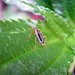 Small photo of Soldier Beetle. Cantharidae