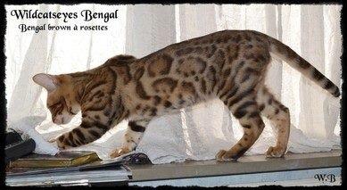 Chatterie Wildcatseyes en Belgique