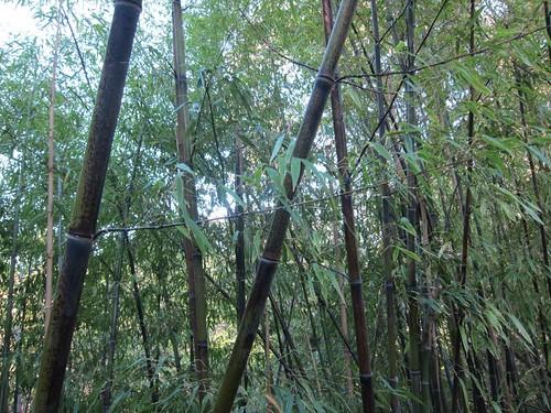 Hakone Japanese Gardens, Saratoga, CA, bamboo IMG_2336
