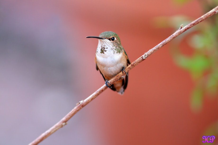 Allen's Hummingbird 010613-2