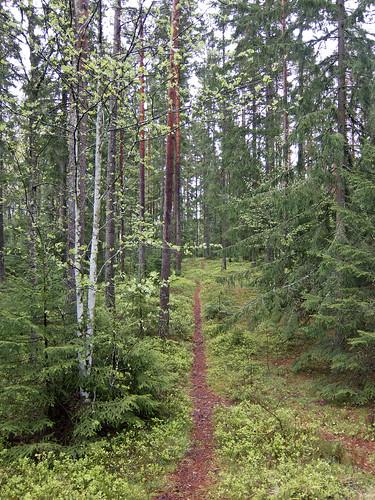 summer forest sweden