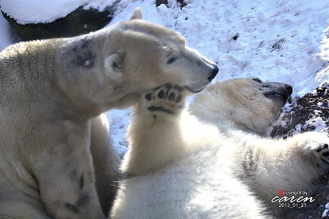 Eisbären Giovanna&Yoghi 2013_01_23 361