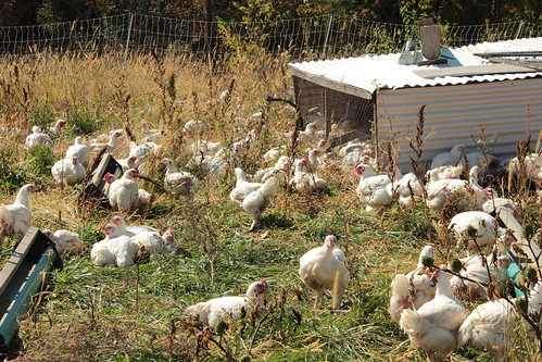 The free range meat chickens stay in their shelters to protect them from predators.  Electric netting in combination with the dogs protects them.  A drip line on each shelter allows for a garden hose to be connected in order to supply fresh water for the chickens in their shelter.
