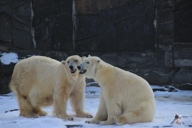 Happy Eisbären