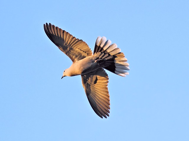 Eurasian Collard-Dove 20130130