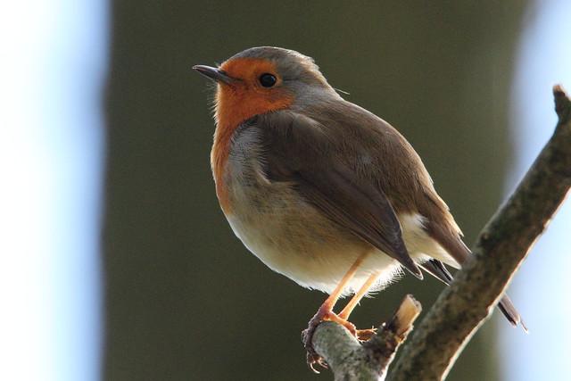 Robin, Shipley Glen
