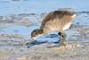 Gallineta común (Gallinula chloropus) / Common moorthen