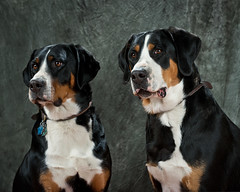 dog breed, animal, dog, appenzeller sennenhund, pet, mammal, greater swiss mountain dog, entlebucher mountain dog, bernese mountain dog,