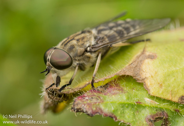 Giant Horsefly Tabanus sp
