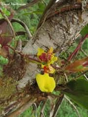 Oncidium globuliferum in situ, Valle del Dagua, Valle del Cauca, Colombia