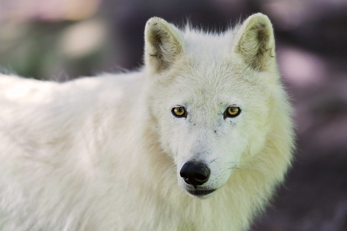 Polar wolf portrait by Tambako the Jaguar