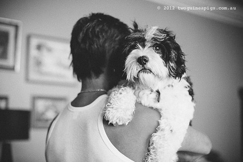 Loved. Bernard the Cavamalt by twoguineapigs pet photography