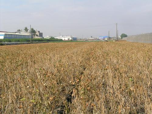 紅豆收穫前施用巴拉刈落葉劑落葉情形。(圖片來源:高雄區農改場)