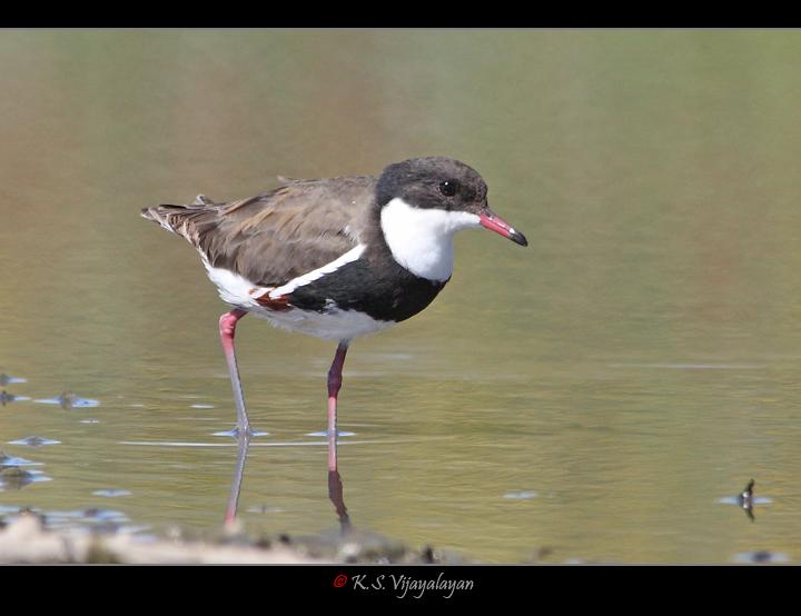 Red-kneed Dotterel, Australia