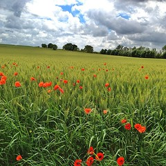 Note printanière. #poitoucharentes #gang_family #gf_france #field #poppies #igersfrance - Photo of Vallans