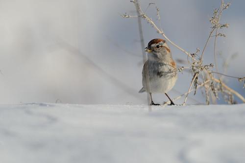 Tree Sparrow_40482.jpg