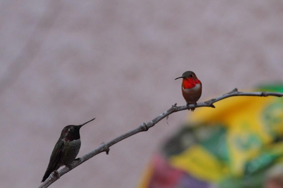 Anna's and Allen's Hummingbird 122312