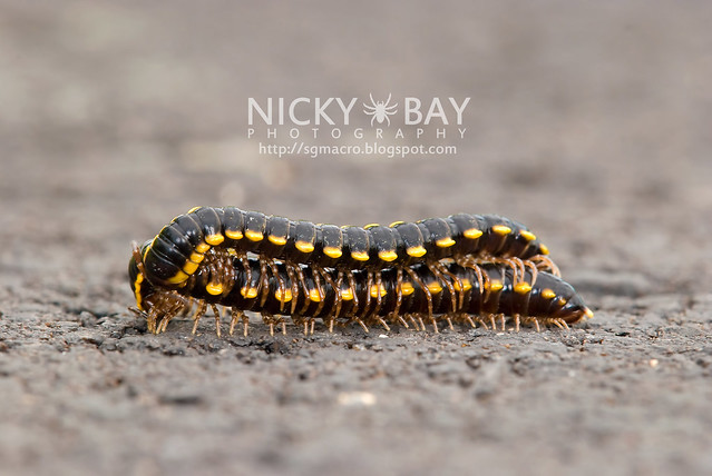 Yellow-Spotted Millipedes (Anoplodesmus sp.?) - DSC_9972