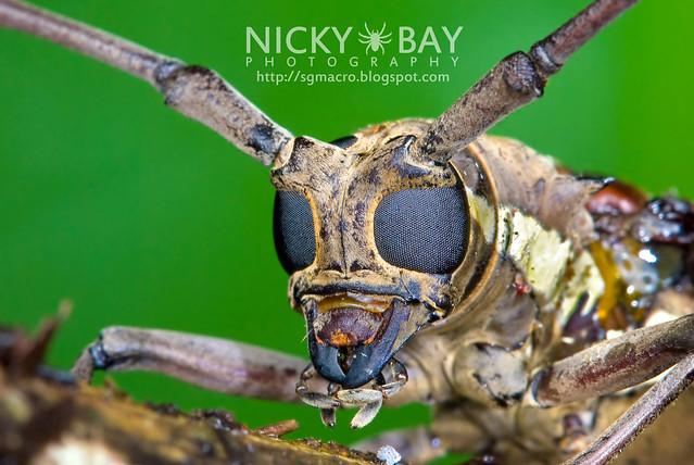 Longhorn Beetle (Batocera rubus) - DSC_9143