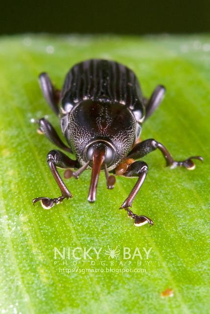 Agave Snout Weevil (Scyphophorus acupunctatus?) - DSC_7479