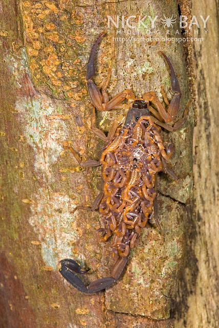 Scorpion (Lychas scutilus) - DSC_8903