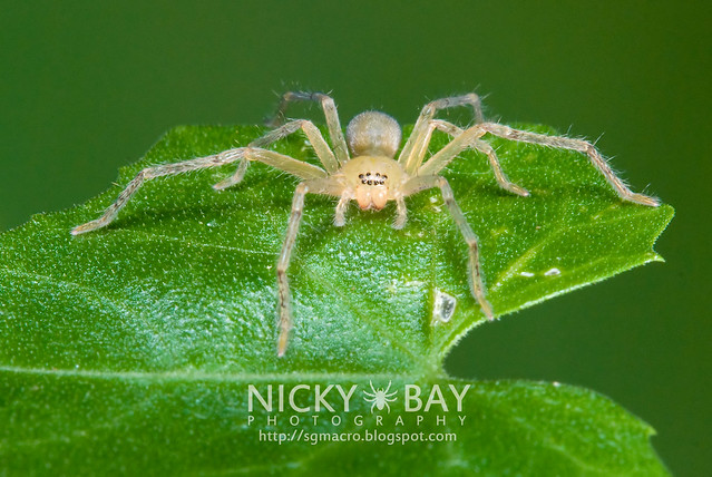 Huntsman Spider (Sparassidae) - DSC_7597