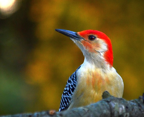 Red-Bellied Woodpecker.  Photo © Flickr User: KoolPix.